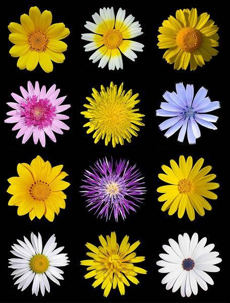 Asteraceae_Flowers