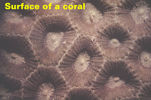 Surface of a coral