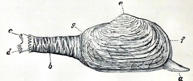 Mya truncata