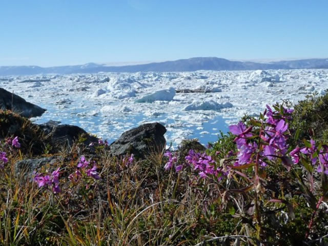 The national flower of Greenland – Niviarsiaq