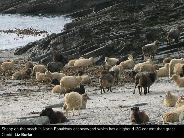 Sheep on the beach in North Ronaldsay