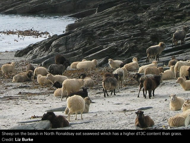 Sheep on the beach in North Ronaldsay