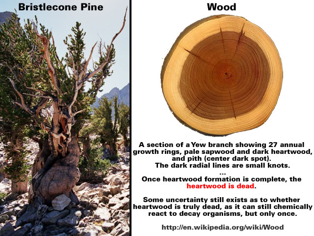 Bristlecone Pine Wood