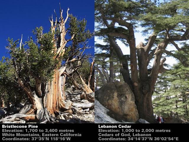 Bristlecone vs Cedar