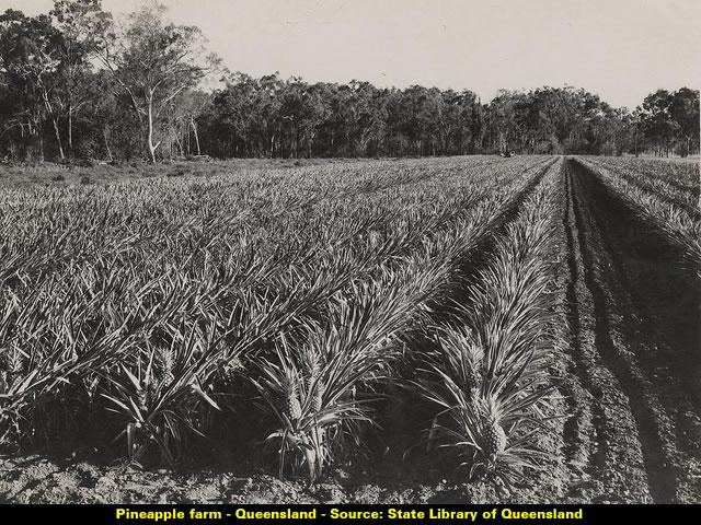 Pineapple farm - Queenland