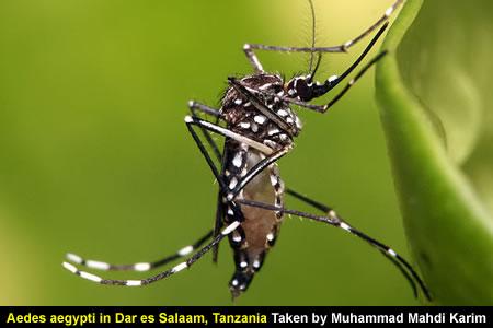 Aedes aegypti in Dar es Salaam, Tanzania