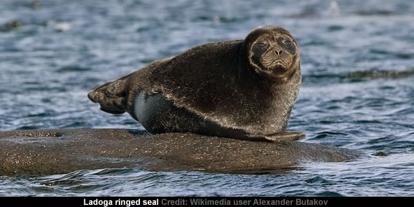 Ladoga ringed seal