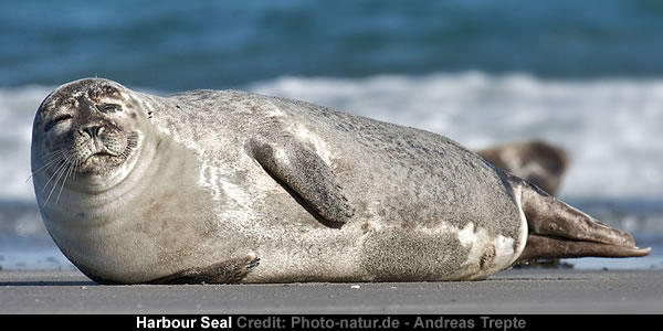 stranded-harbour-seal